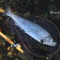 【魚類妄想生態学】那珂川に生息するサクラマスの生活史